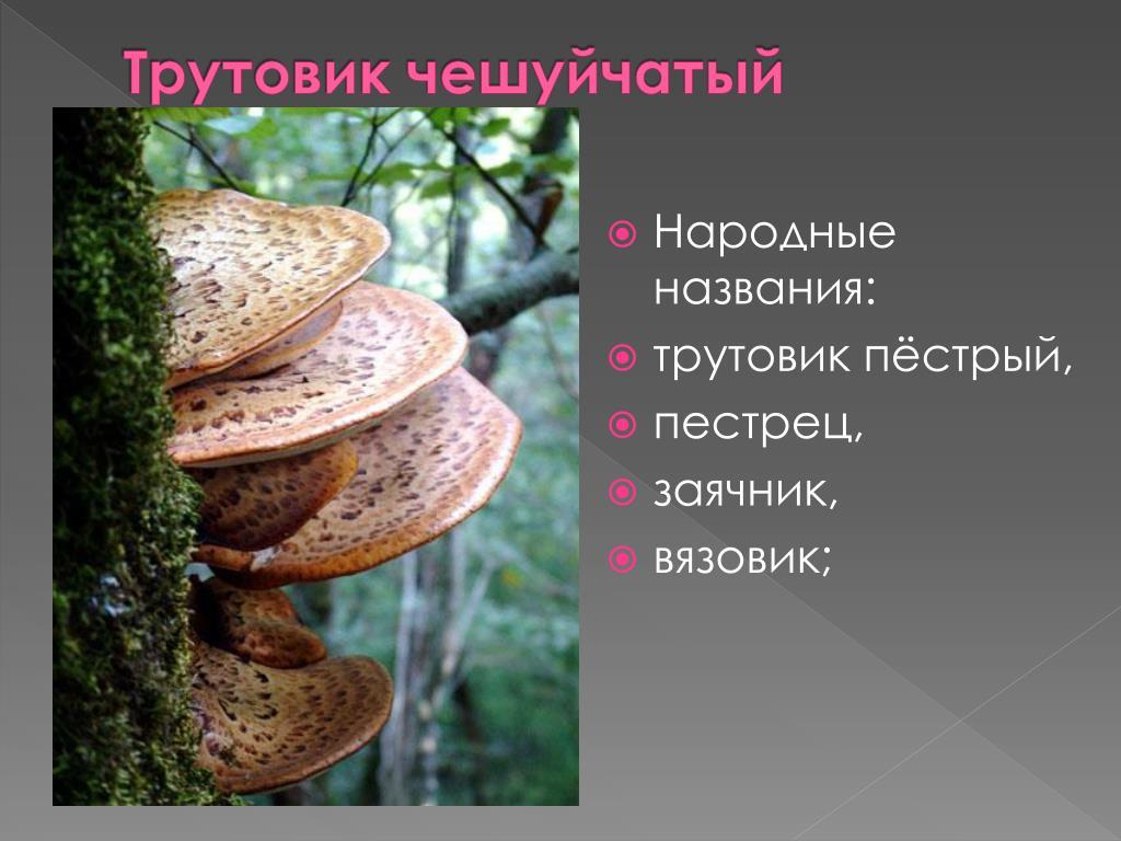 5 видов трутовика: полезные свойства гриба, растущего на деревьях и не только