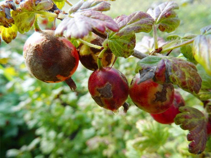 Вредители и болезни плодово-ягодных культур: обработка кустарников весной, летом и осенью