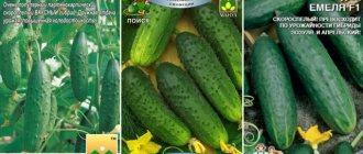 Скороспелый гибрид огурца «марьина роща f1», любимый дачниками за высокую урожайность