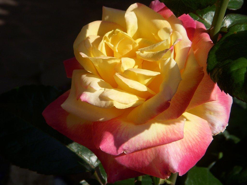 Роза глория дей: описание, фото, уход