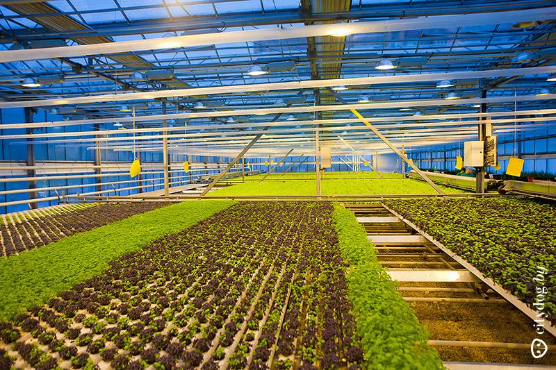 ᐉ выращивание в теплице базилика зимой: особенности посадки и какие сорта выбрать? - orensad198.ru