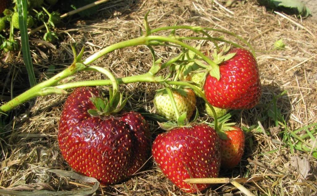 Ремонтантная клубника и земляника: особенности выращивания и правила ухода