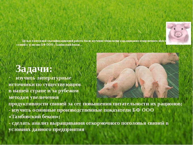 Разведение и содержания свиней: правила составления рациона, обустройство свинарника