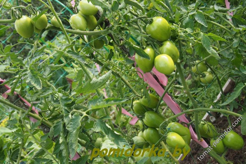 Фото, отзывы, описание, характеристика, урожайность сорта томата «тамара».