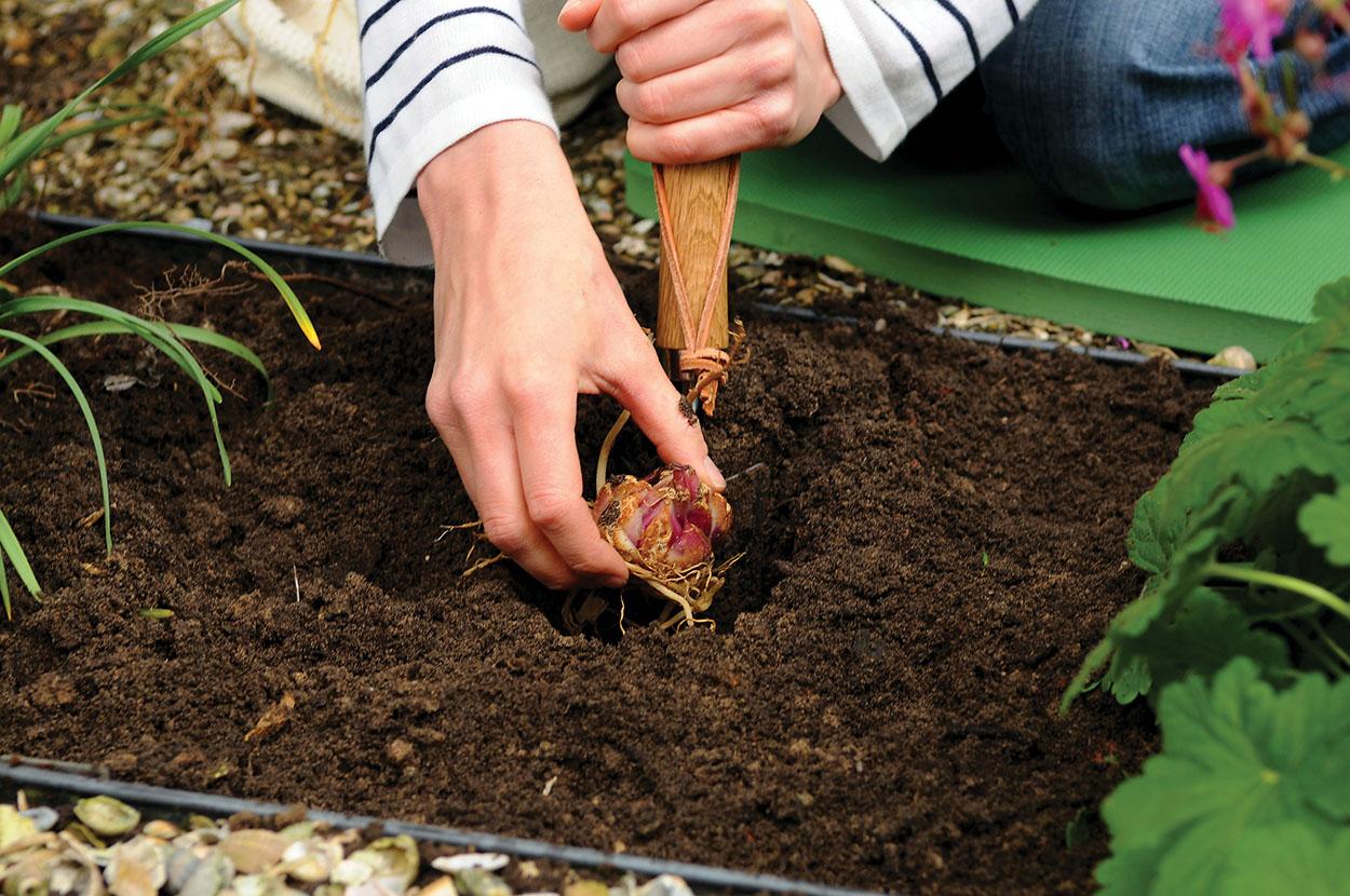 Правила пересадки хризантем осенью на другое место и сроки для открытого грунта