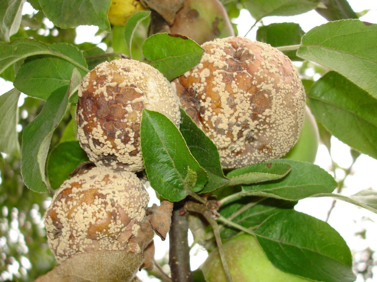 Как лечить монилиоз вишни, препараты и средства для борьбы с болезнью