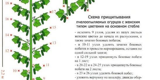 Пасынкование огурцов в теплице: схема, пошаговая инструкция, фото