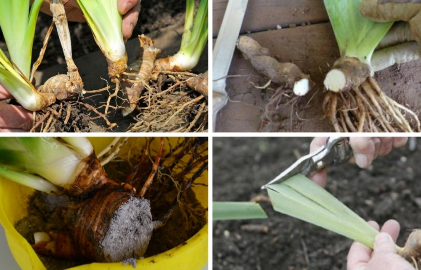 Ирисы - сказочные сорта для сада: советы для посадки и ухода