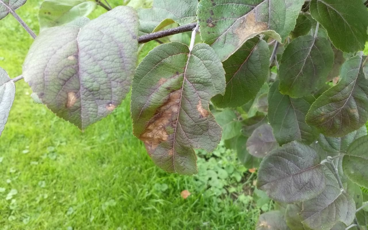 Яблоня: болезни и вредители – гусеницы, тля, пятна на листьях, фото