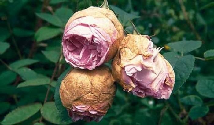 Причины  почему у орхидеи вянут цветы и бутоны. проблемы цветения.   страна мастеров