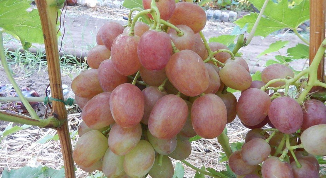 Описание и характеристики винограда сорта Ливия, выращивание и размножение