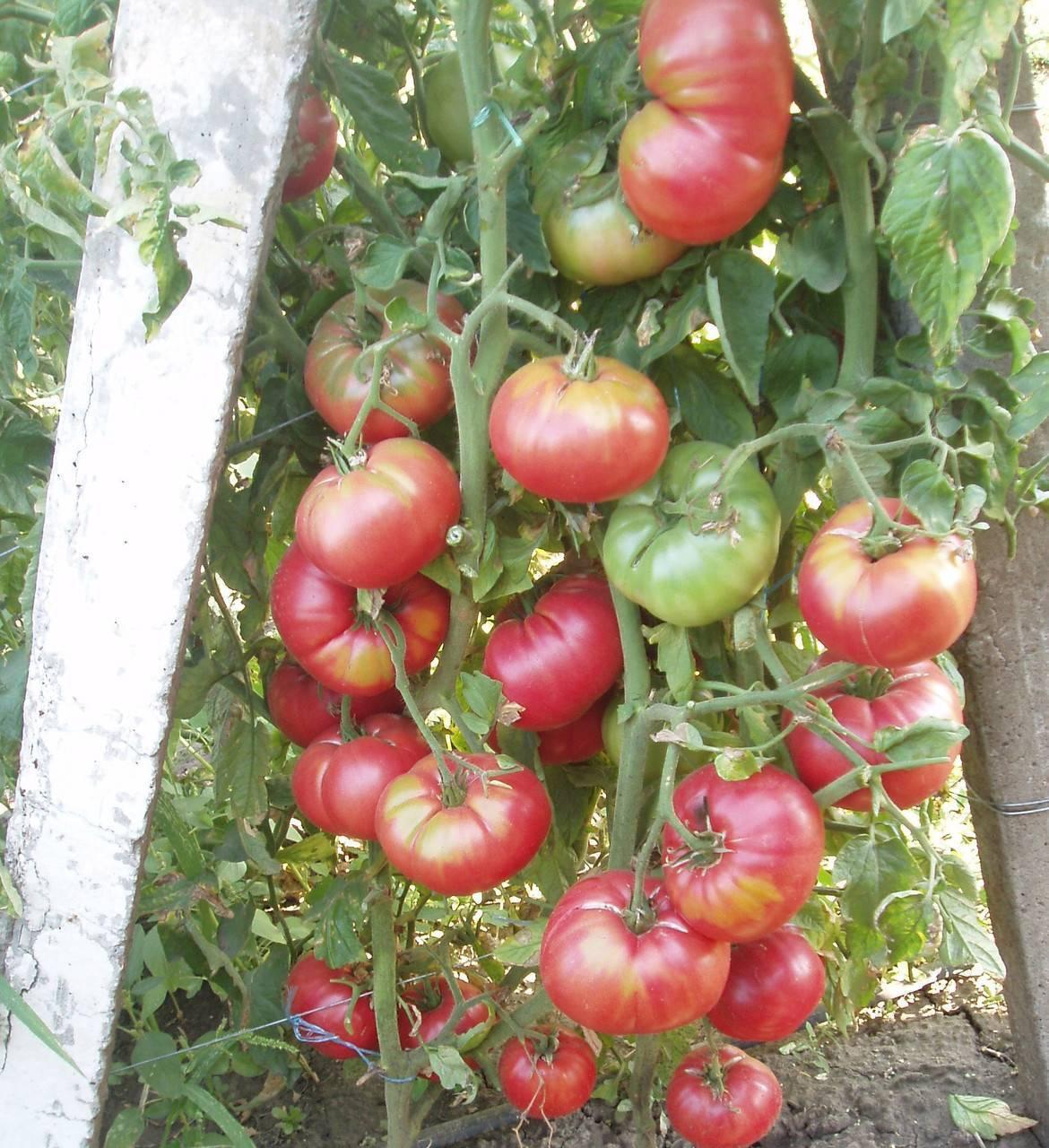 Сорт помидор корнеевский розовый описание и характеристика - всё о землеводстве