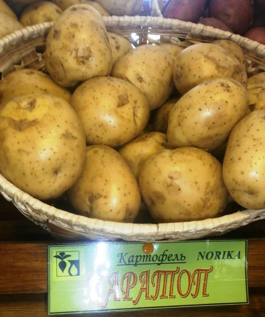 Стойкий и урожайный сорт столового картофеля «вектор» от белорусских селекционеров