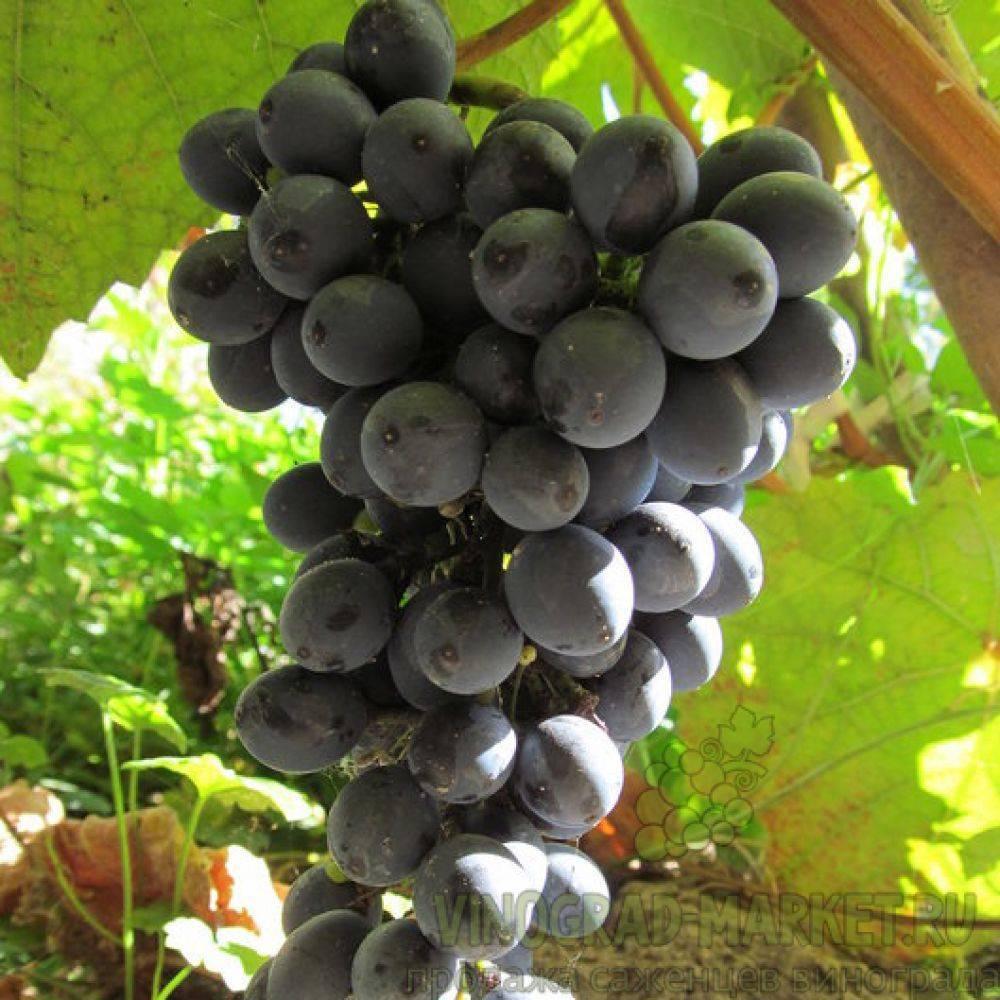 Виноград в сибири для начинающих видео: особенности выращивания