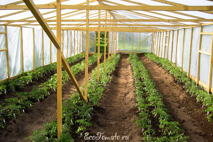 Правила агротехники выращивания томатов в теплице и открытом грунте