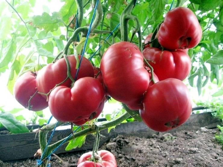 Сорт томатов розовый мед: описание, выращивание и уход