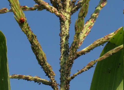 Кукурузный мотылек, как бороться с вредителем кукурузный мотылек   bayer crop science россия
