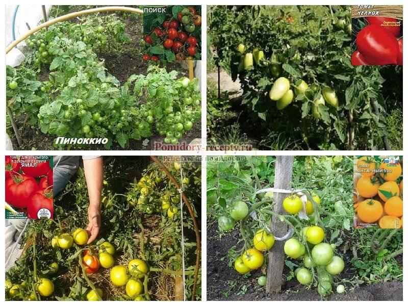 Какие сорта томатов выбрать для выращивания в теплице из поликарбоната