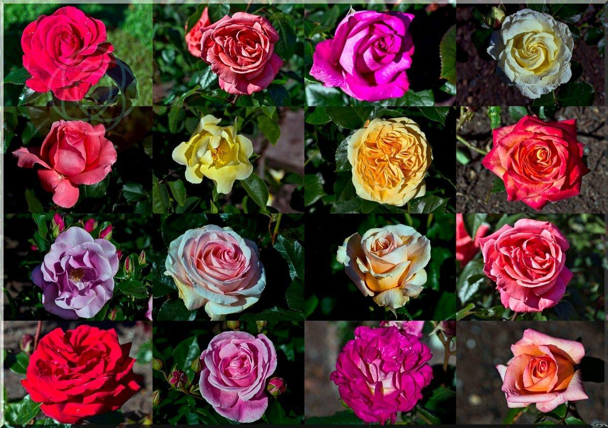 Парковые розы: топ-17 лучших сортов для сада | 100+ фото