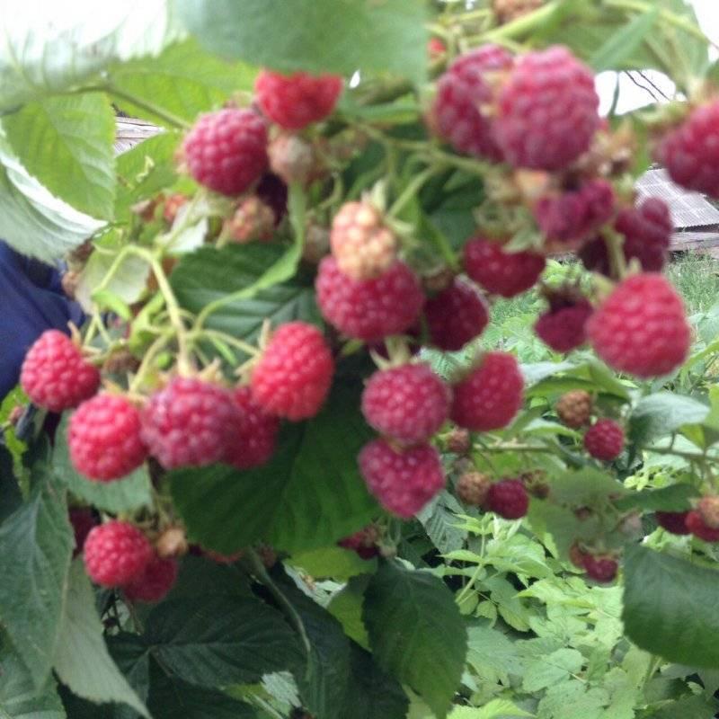 ᐉ малина таруса чем отличается этот сорт малинового дерева - roza-zanoza.ru
