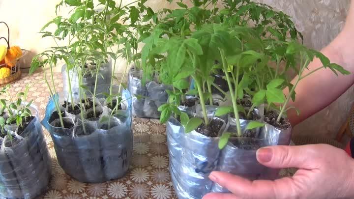 Выращивание рассады томатов в пеленках – без земли, с землей, пикировка, видео
