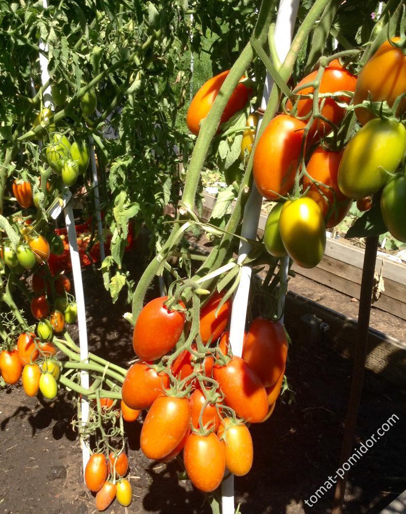 Томат сэр элиан: описание и характеристики сорта, урожайность с фото и видео