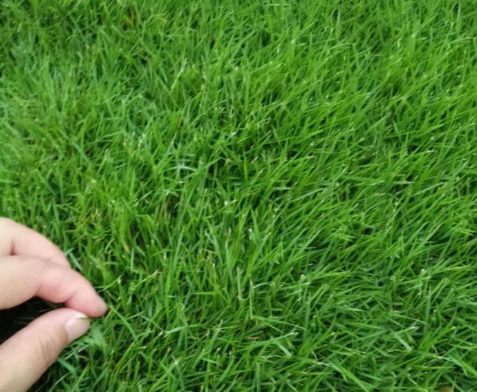 Газонная трава: фото, видео, выбор и расчет семян, способы посадки газона