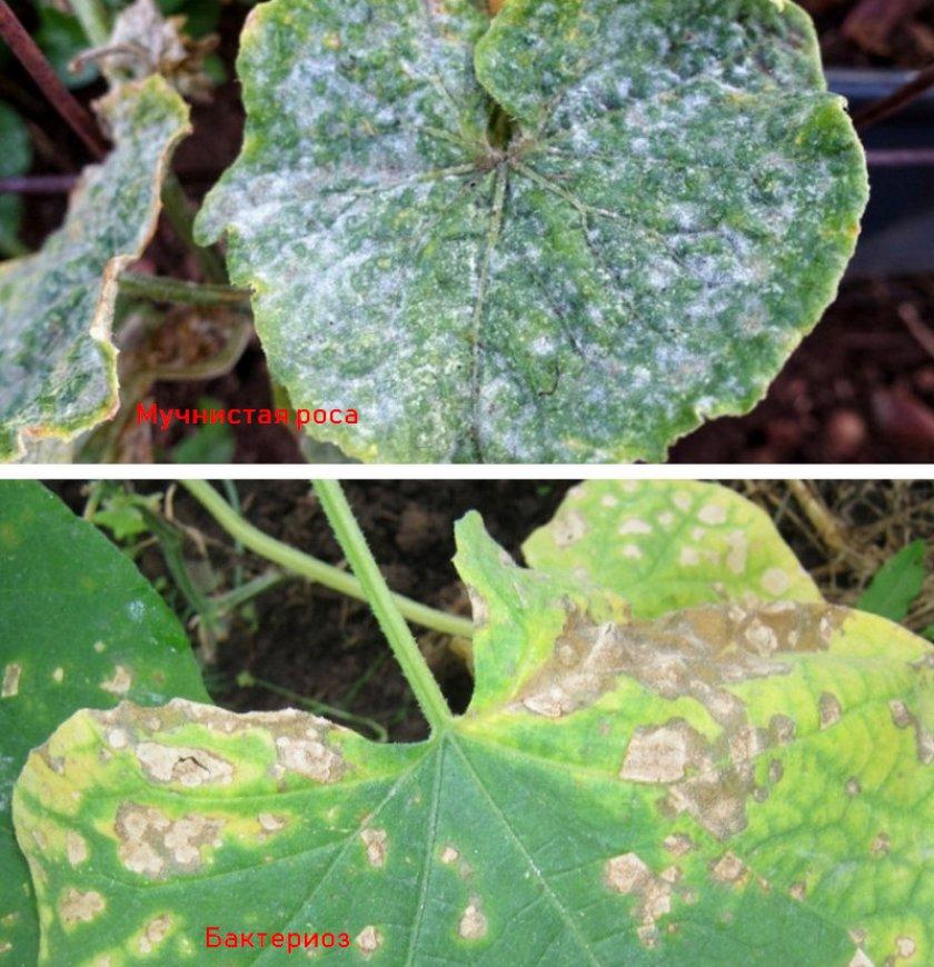 Болезни огурцов: фото зараженных листьев с описаниями, способы лечения и рецепты обработки от вредителей и заболеваний