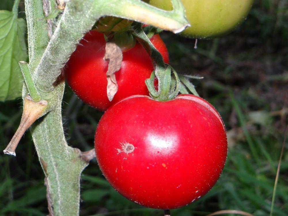"""Томат """"подснежник"""": характеристика, описание сорта, урожайность и фото русский фермер"""