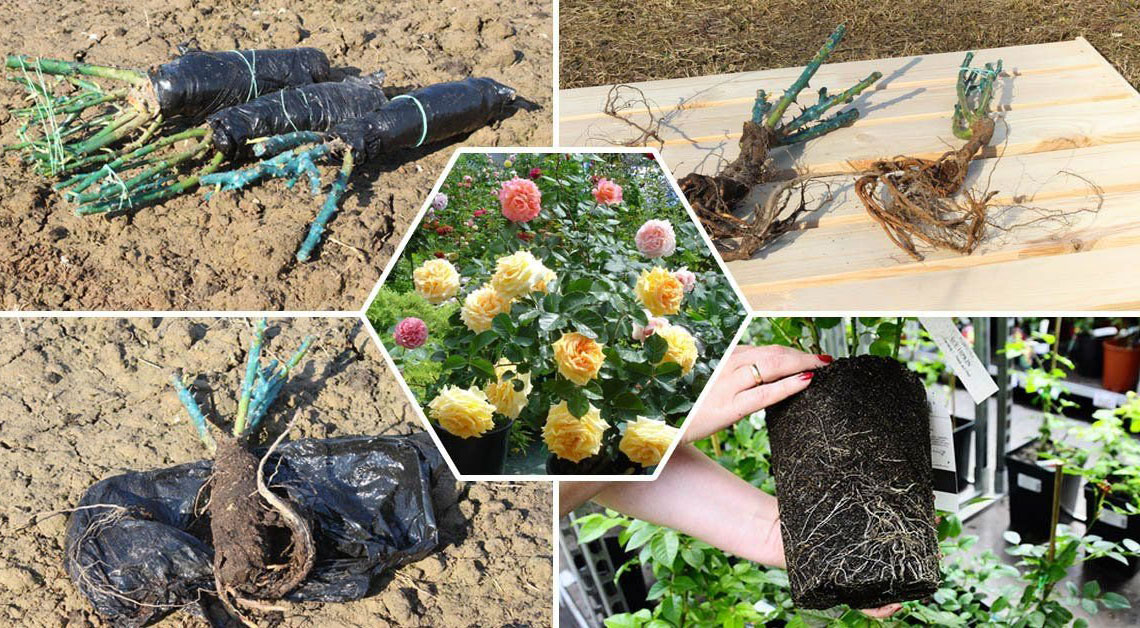 Как сохранить до посадки саженцы растений, купленные в феврале, марте и апреле