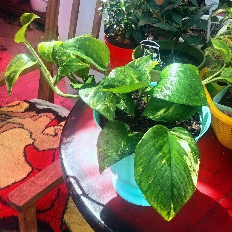 Цветок сциндапсус: сорта и виды фото с названием, можно ли держать дома, посадка и уход в домашних условиях, пересадка и размножение