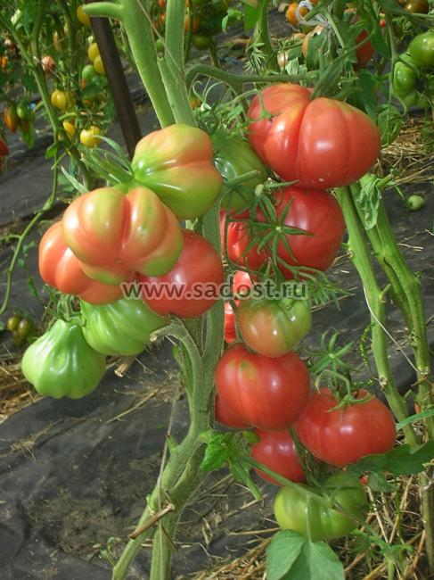 Томат диаболик: описание сорта помидоров, фото поспевших плодов, отзывы тех, кто пробовал их выращивать