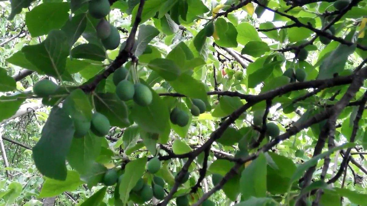 Почему опадает слива не успев созреть: почему осыпается и сбрасывает зеленые плоды?