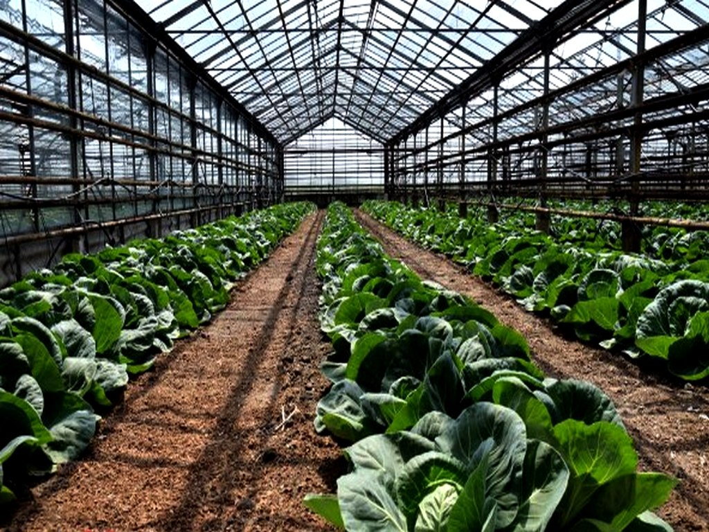 Особенности пекинской капусты. рекомендации, как вырастить хороший урожай
