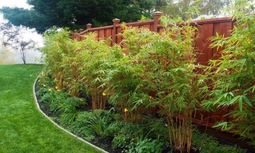Декоративный бамбук на приусадебном участке