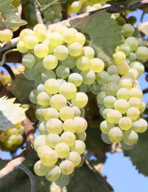 Виноград ркацители: описание сорта, характеристики, фото, особенности выращивания и урожайность