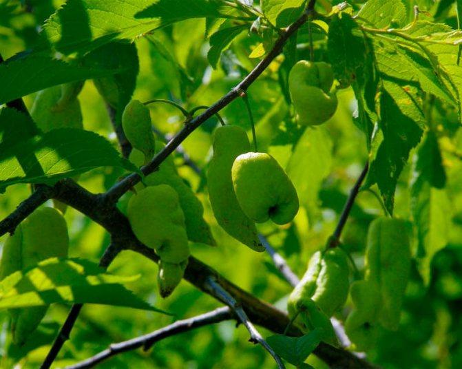 Почему плоды сливы осыпаются и что делать