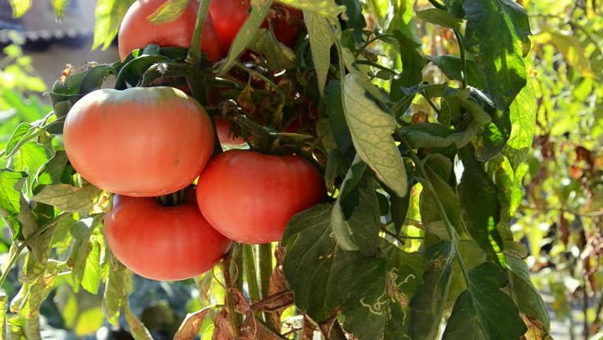Описание сорта томата мадейра, особенности выращивания и ухода – дачные дела