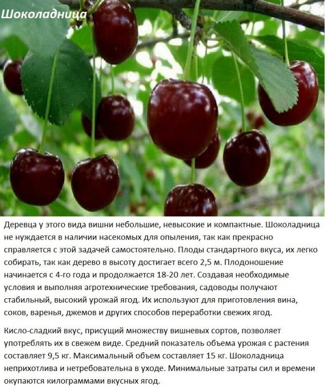 Морозостойкие сорта черешни для сибири и урала: описание с названием и фото