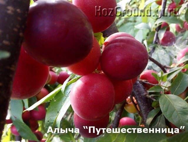 Топ-23 лучших сортов алычы: описание и фото | +отзывы