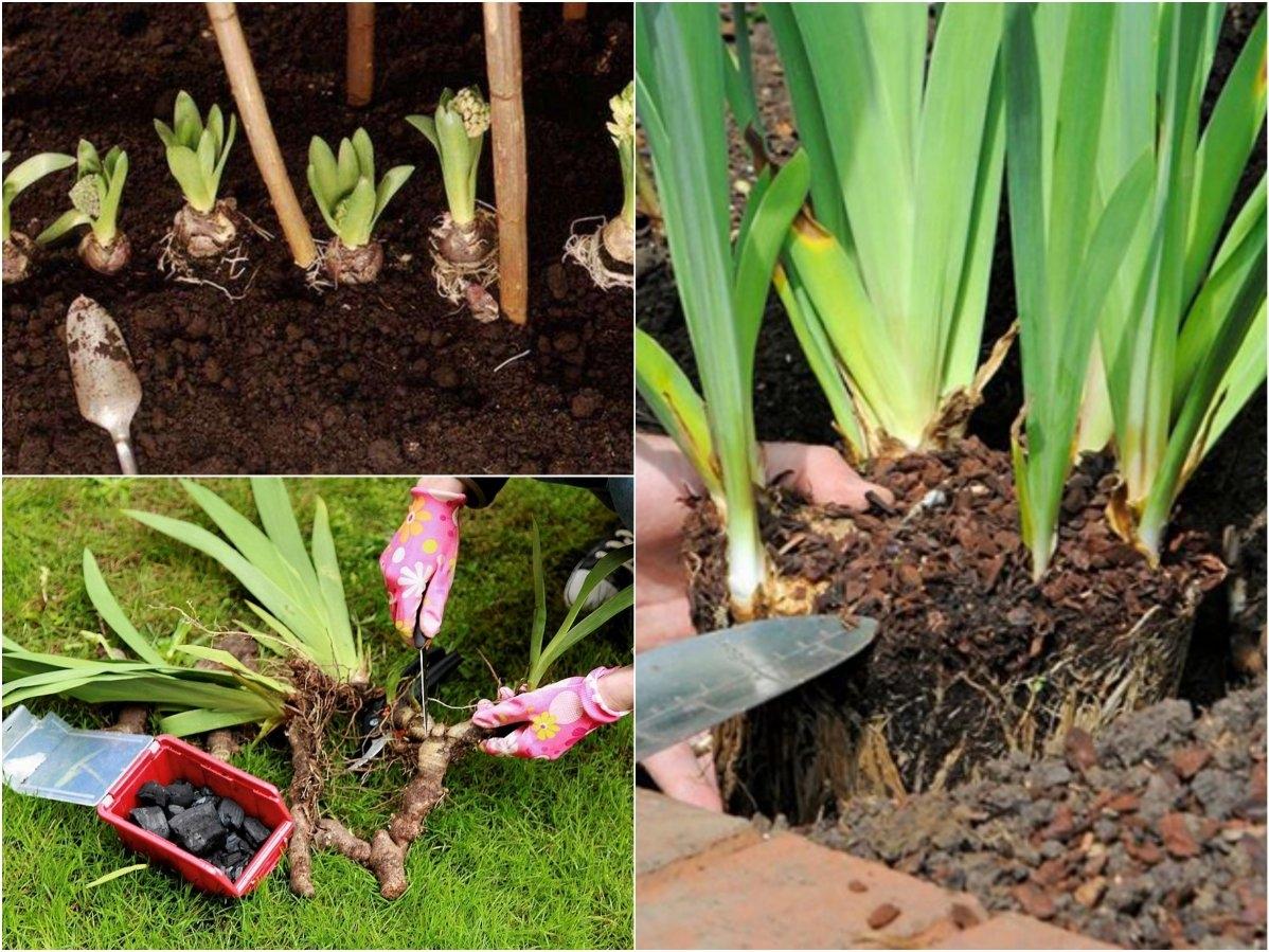 Посадка и уход за ирисами в открытом грунте, размножение и выбор сорта