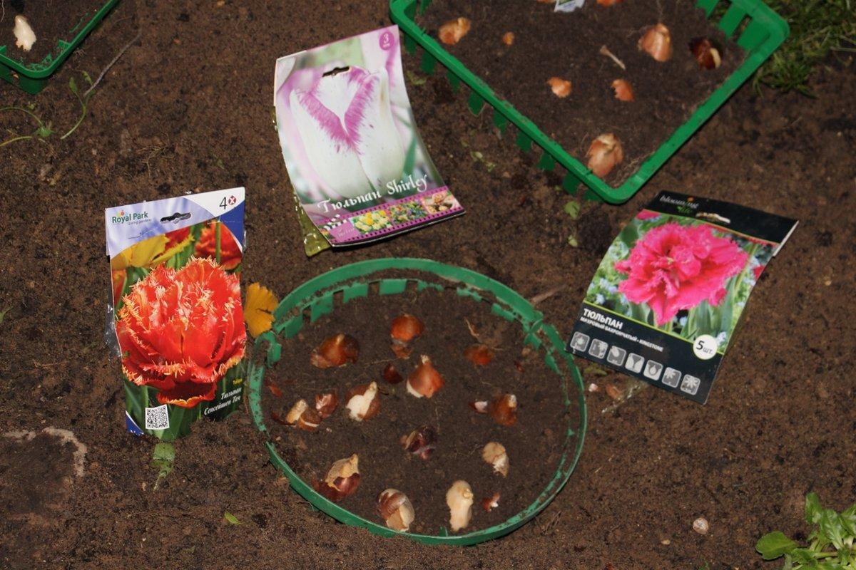 Как сажать тюльпаны: осенью, весной, в открытый грунт, в корзины, в горшки, пошаговая инструкция, куда сажать (фото)