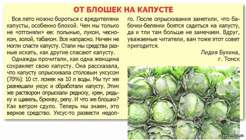 Обработка капусты от вредителей нашатырным спиртом: как спасти овощи и как бороться при помощи аммиака, чем еще полить, а также пропорции для опрыскивания