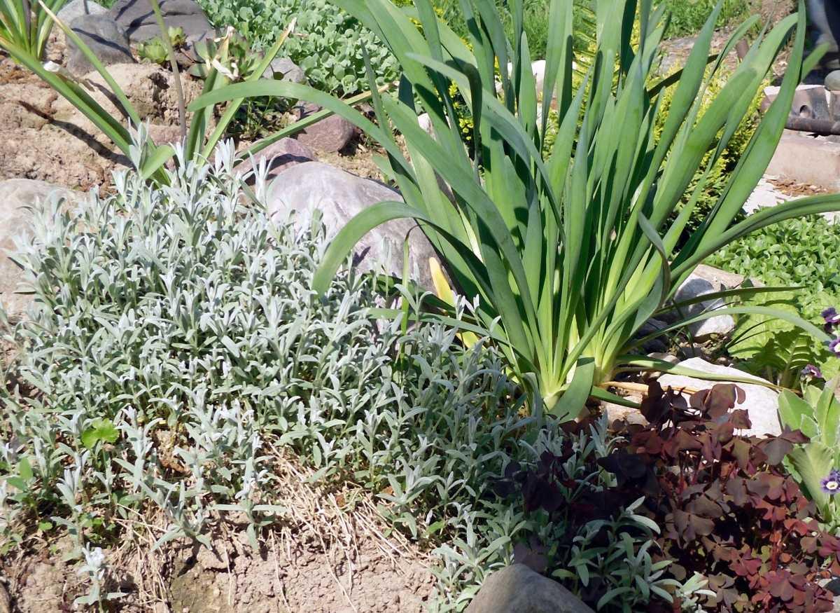 Лук слизун – что это такое, можно ли его есть, как правильно сажать и ухаживать, выращивание в горшке