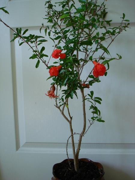 Выращивание некапризного растения граната из косточки в домашних условиях и способы ухода за ним