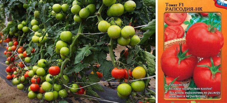 Томат рапсодия (северная, малиновая, золотая): характеристика гибридного сорта помидор и отзывы огородников об его выращивании