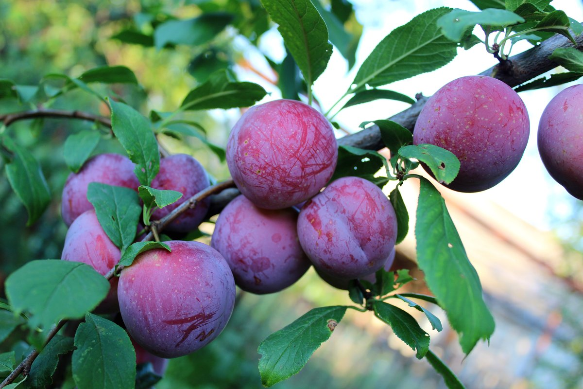 Описание и технология выращивания сливы сорта красный шар