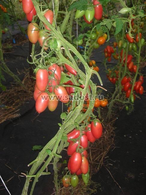 Сосулька красная – урожайный томат с необычными плодами: описание сорта с отзывами садоводов