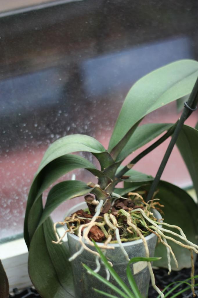 Что делать – у орхидеи отвалились все листья, цветки, от чего зелень желтеет и опадает, почему пропадают живые корни, каков должен быть уход в домашних условиях? русский фермер