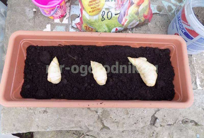 Секреты посадки и выращивания имбиря в домашних условиях